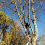 Elagage d'un arbre dangereux à Ouistreham