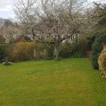 Paysagiste à Ouistreham. Jolie tonte avec un cerisier en fleur en arrière plan