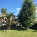 Avant l'abattage d'un arbre à Ouistreham pour mise en valeur d'un palmier dates